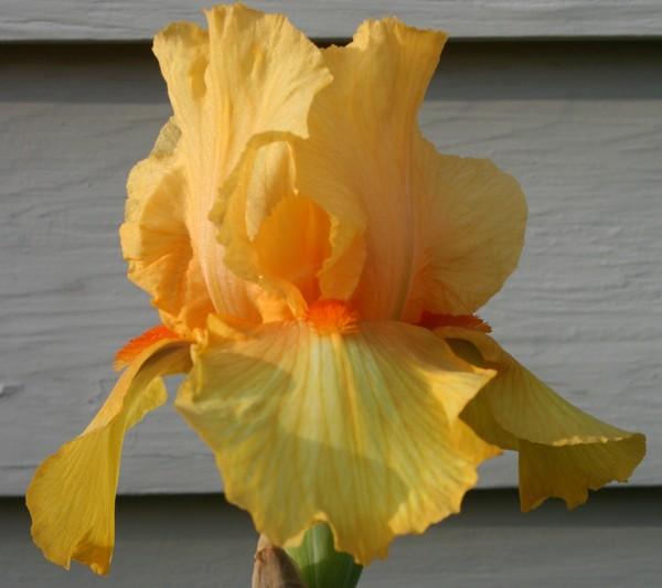 Yellow_iris_cropped