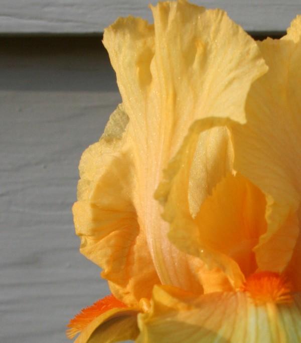 Yellow_iris_cropped_edge