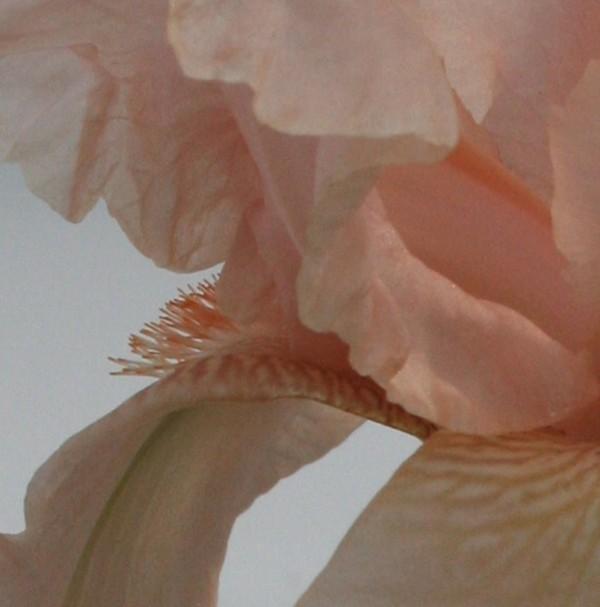 Pink_iris_detail