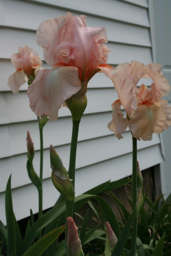 Pink_irises