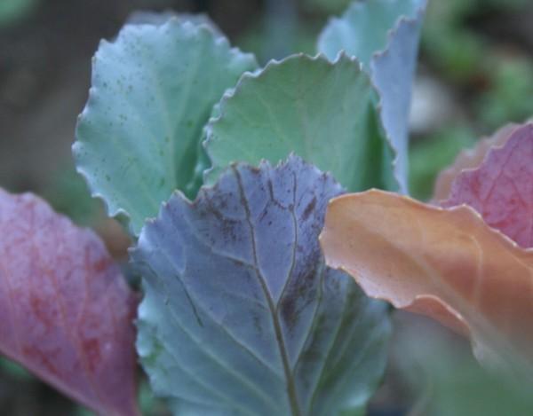 Calendar_ornamental_cabbage