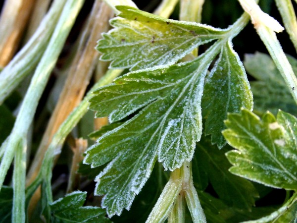 Frost_on_parsley