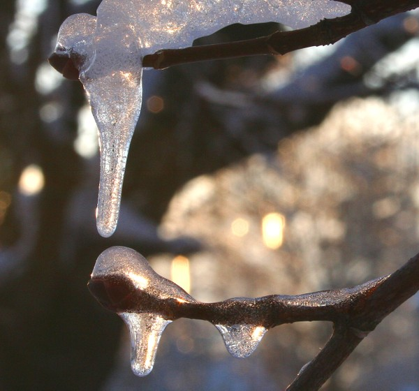 Ice_on_maple_detail
