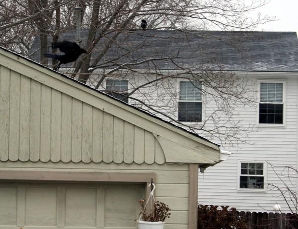 Crow10