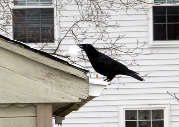 Crow1_2