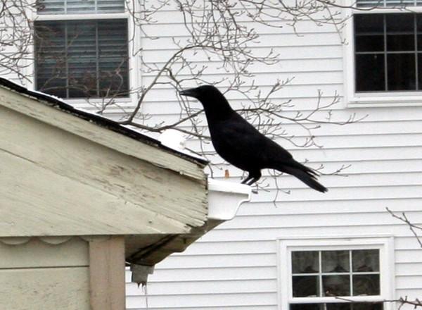 Crow2_2