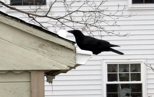 Crow3_2