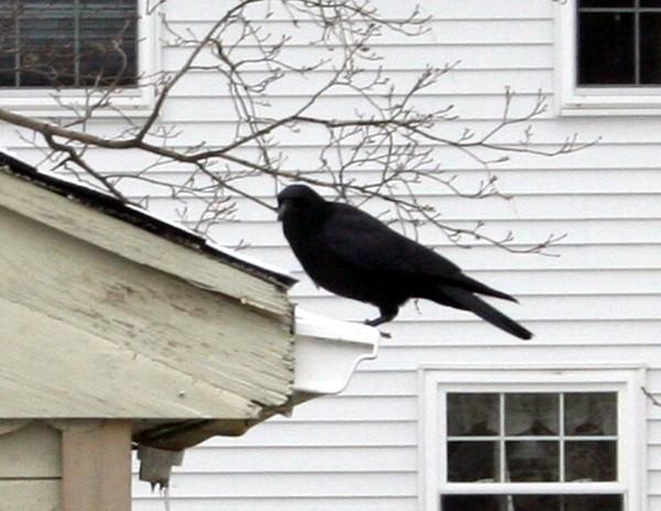 Crow4_2