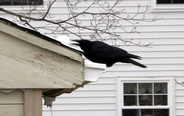 Crow5_2