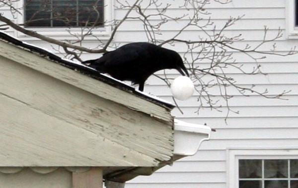 Crow6