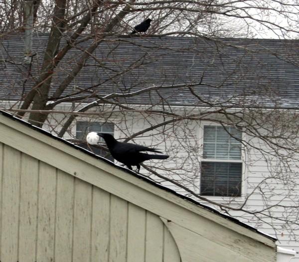Crow8